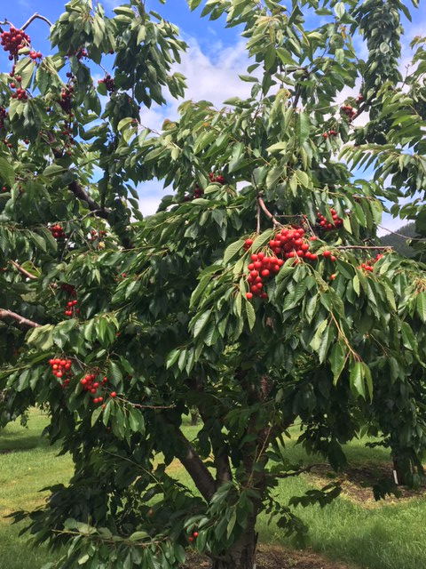 montanacherrytrees_copyrightletstravelwells2017
