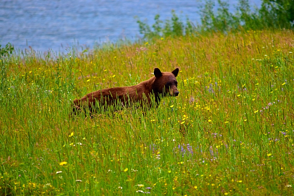 Picture of black bear grazing at Glacier National Park