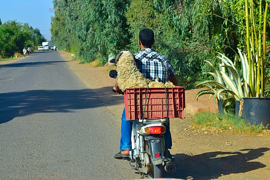 Picture of sheep riding on bike in Marrakech Morocco