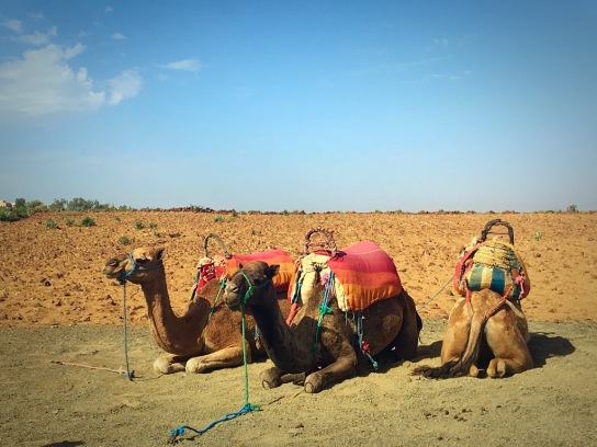 Picture of Morocco camels Atlas mountains