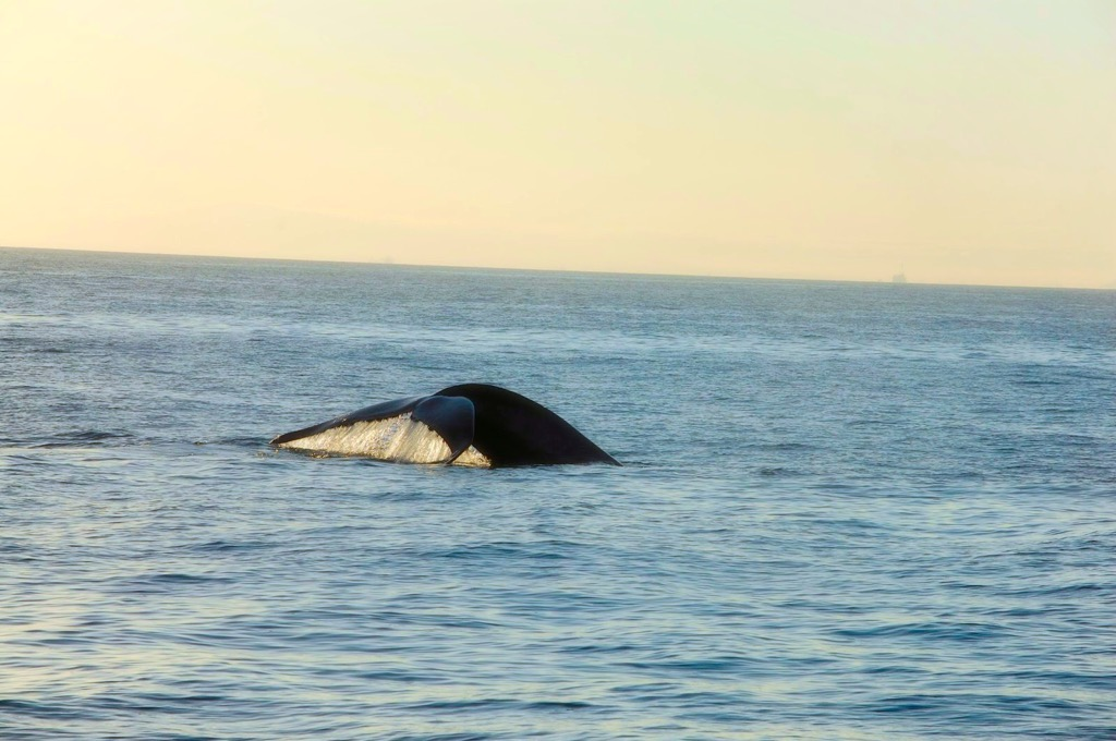 Picture of a blue whale off the coast of Southern California