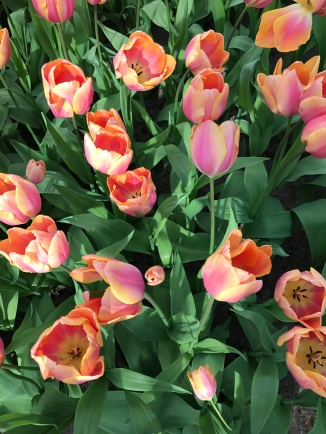 Picture of pink tulips in Holland