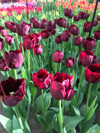 Picture of red tulips in Holland