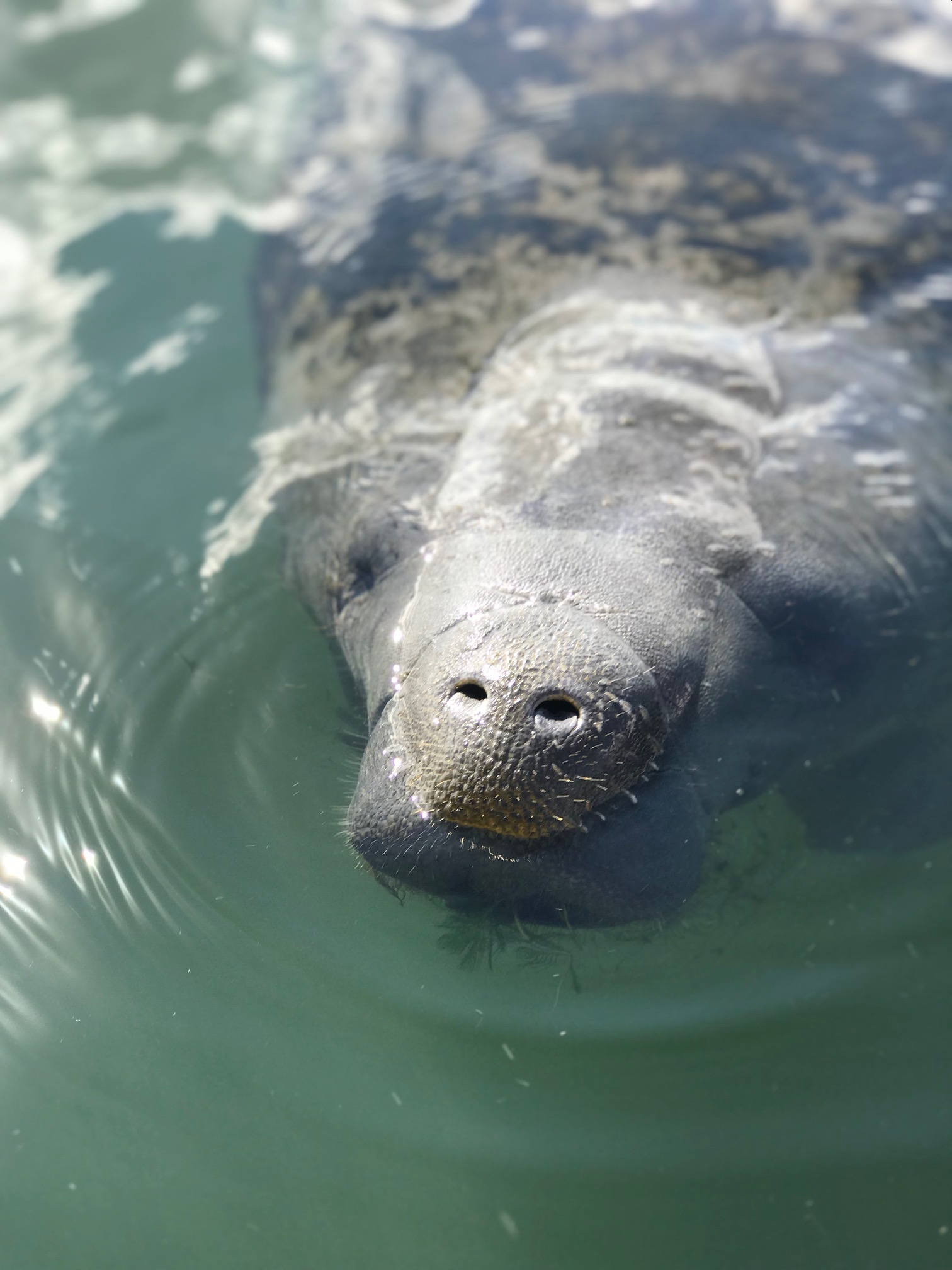 Picture of a manatee in Crystal River