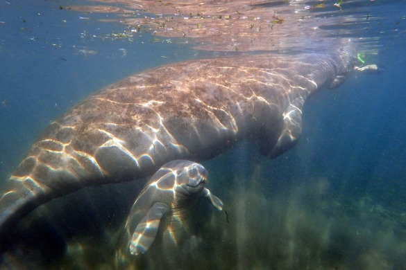 Picture of a mom and baby manatee in Crystal River
