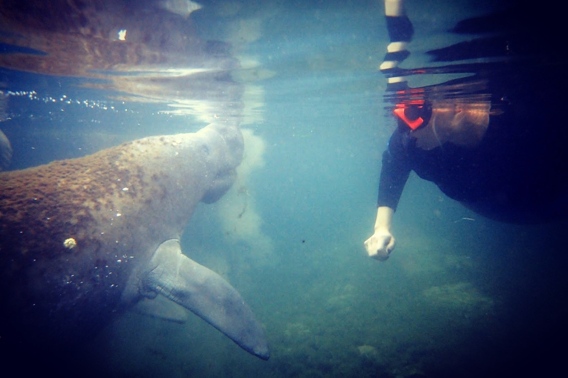 Picture of snorkeling with a manatee